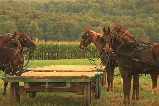 amish_horses_web